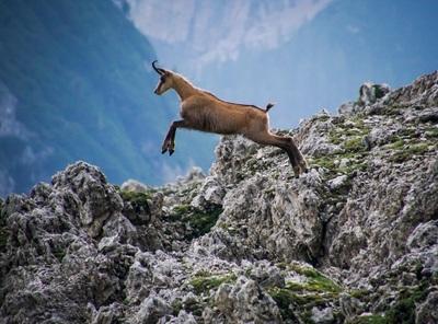 un chamois saute