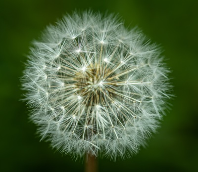 un pissenlit sur le point de répandre sa semence