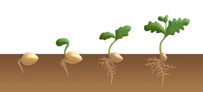 les étapes de la germination d'une graine