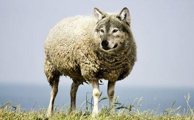 un mouton avec une tête de loup